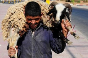 sheepmorocco_190601226